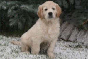 Elkarimas Golden Retriever - C-Wurf