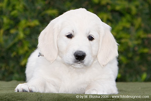 Elkarimas Golden Retriever - B-Wurf