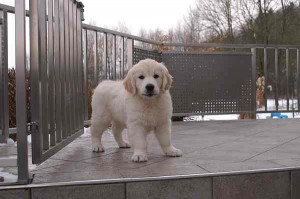 "Elkarimas Golden First Snow ""Finnigan"""